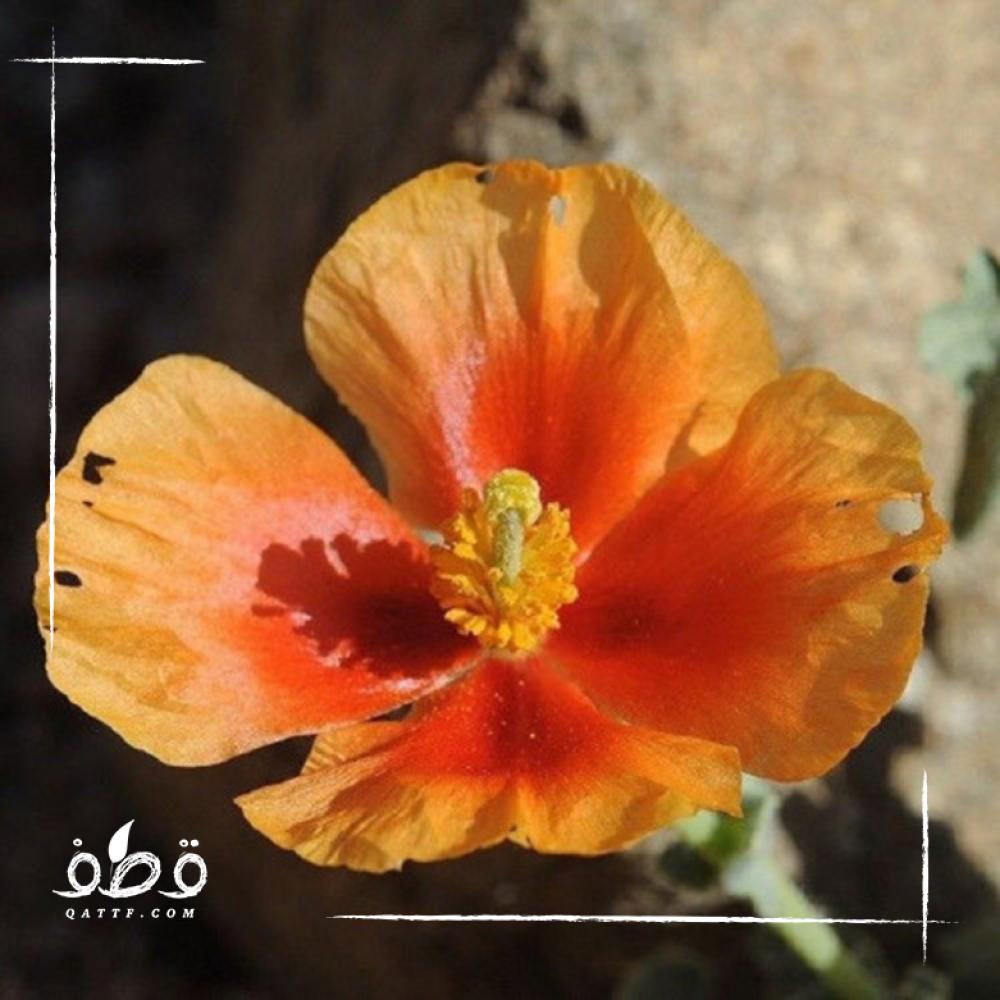 بذور الشقر موسمية glaucium arabicum