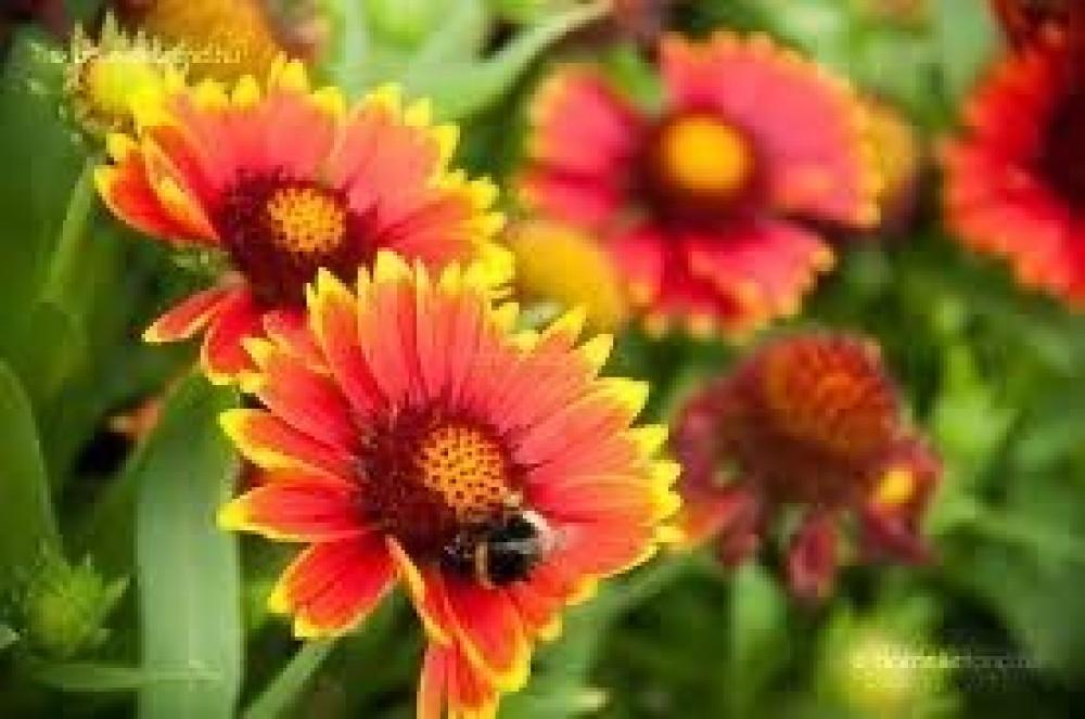 بذور زهور جيلارديا اريستاتا العنبر الكشميري  Gaillardia Aristata