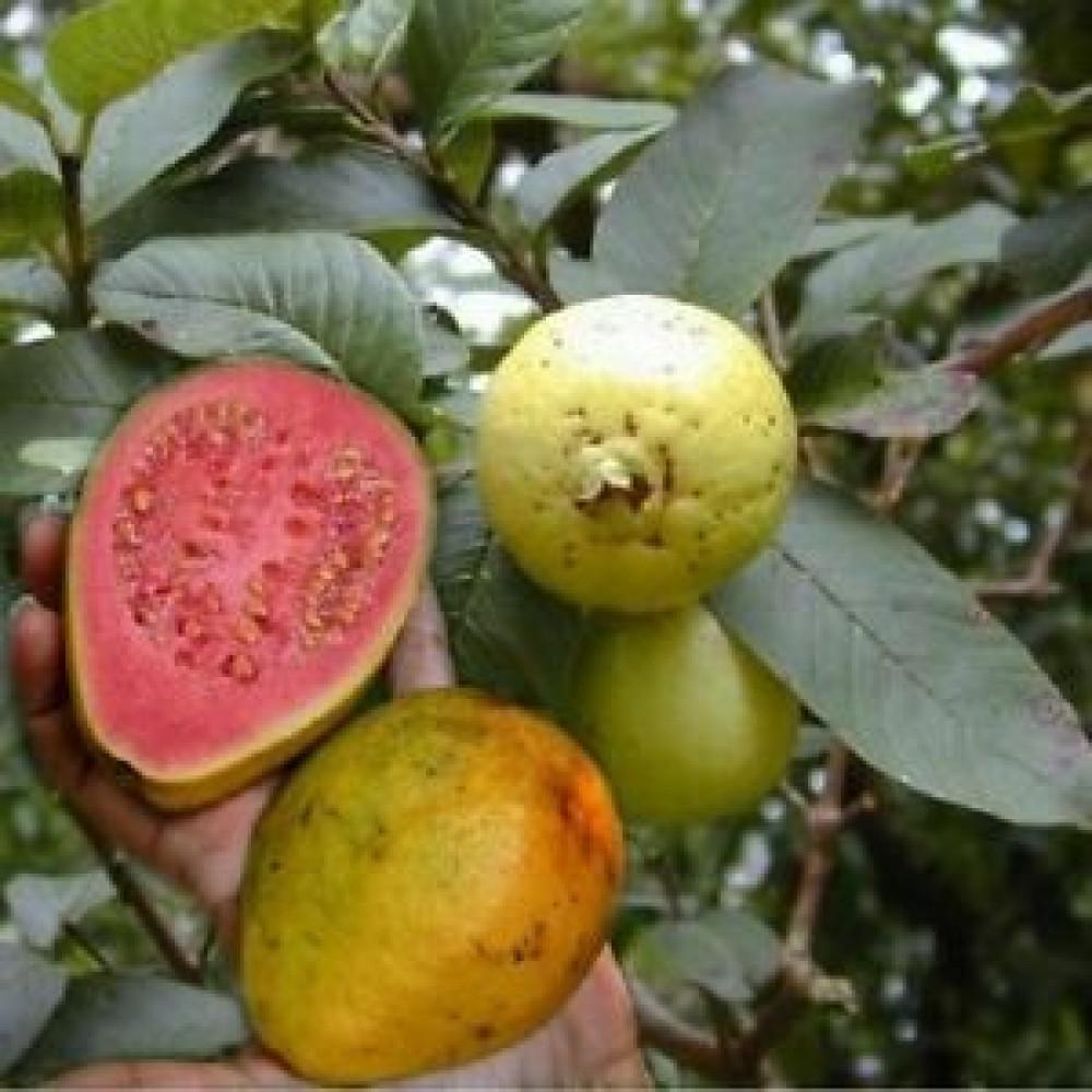 فاكهه الجوافة الحمراء - Psidium guajava