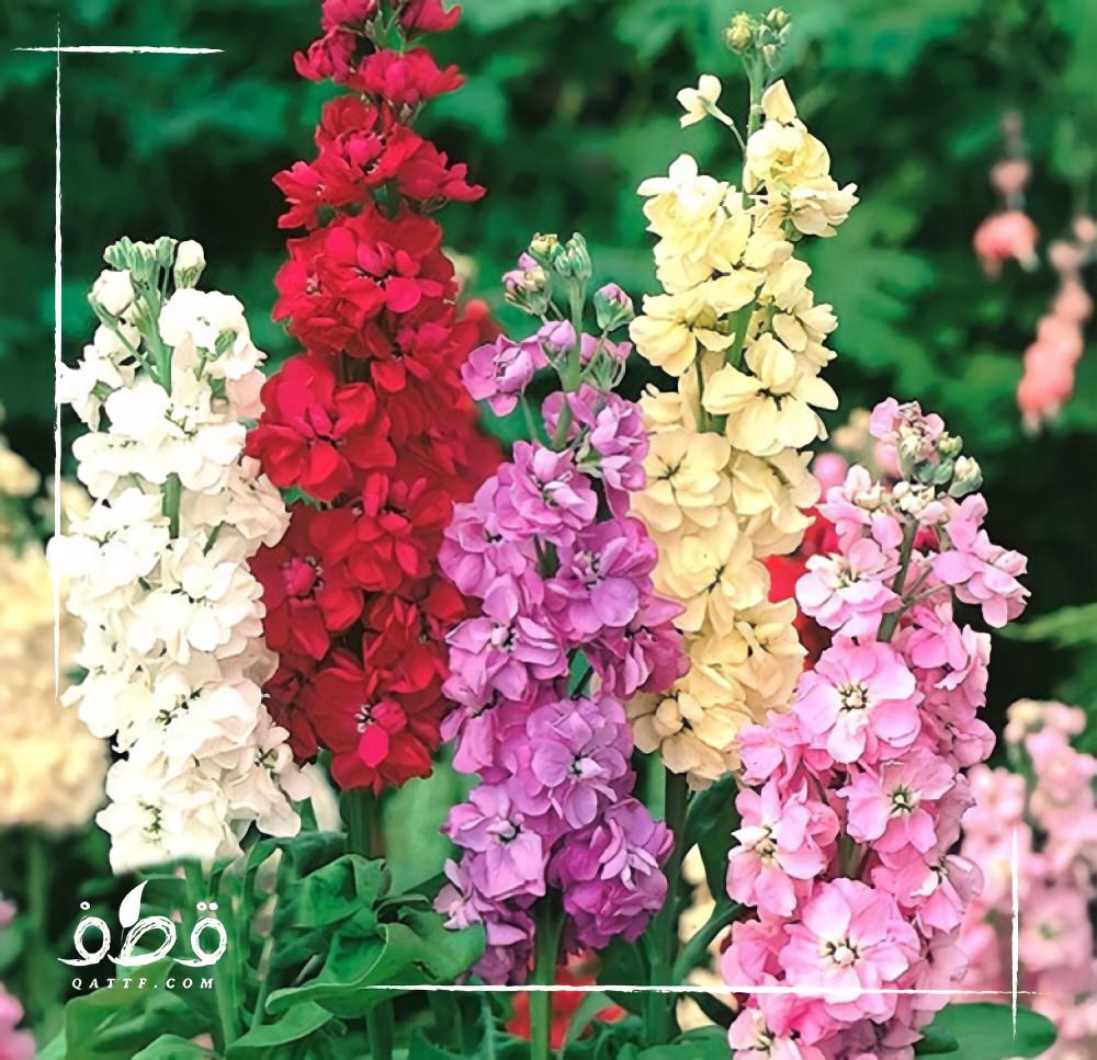 بذور زهرة المنثور - Matthiola