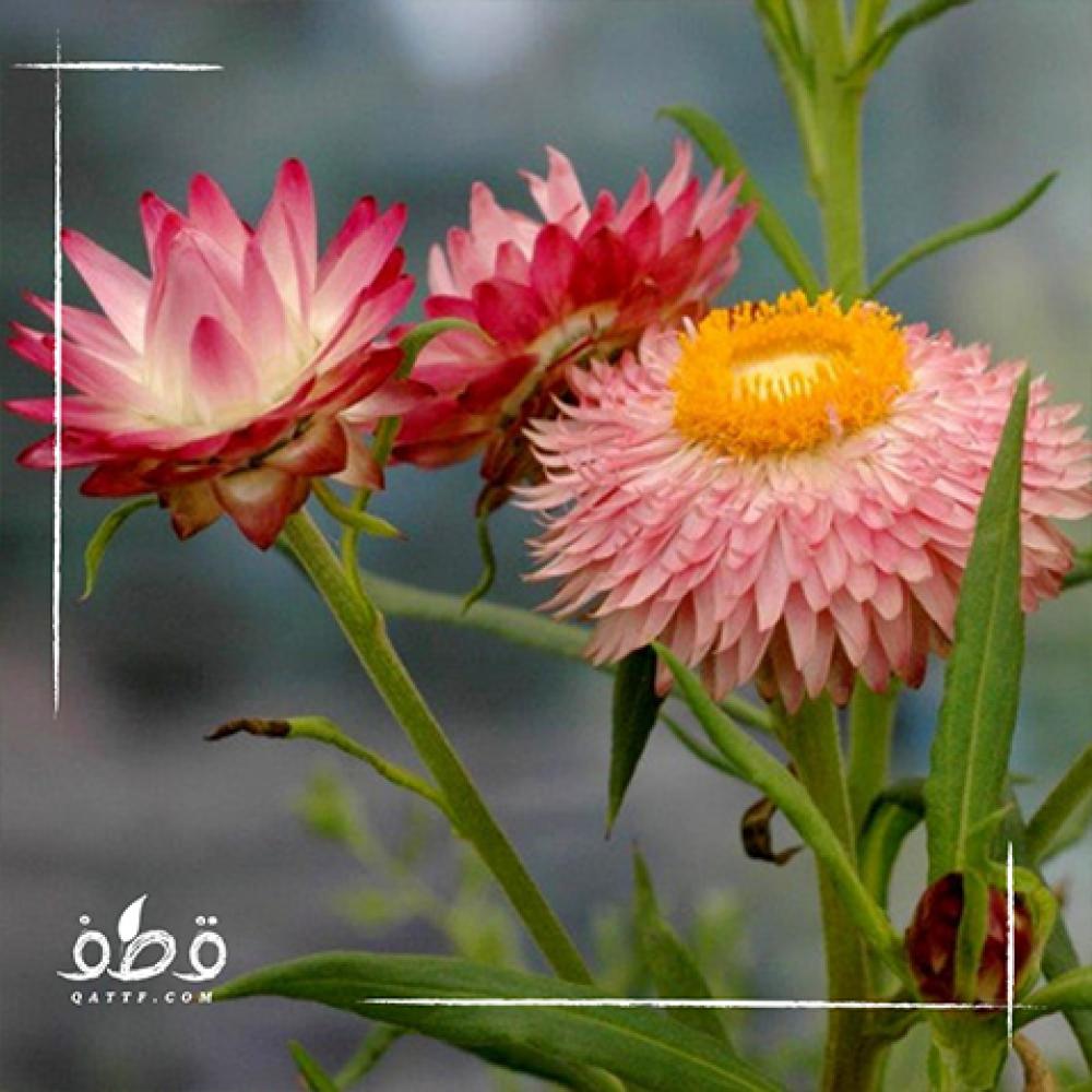 زهرة الخلود هليكريزم  - Helichrysum spp
