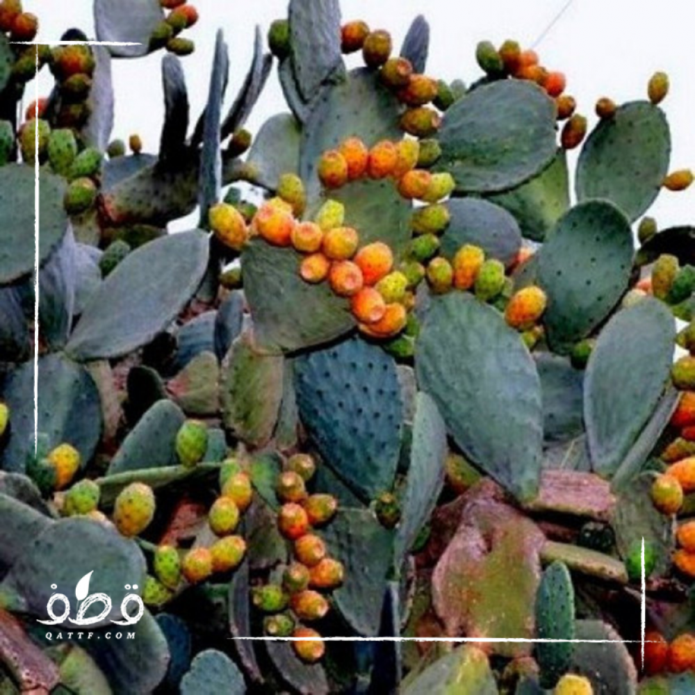 بذور التين الشوكي - البرشومي-   Opuntia ficus-indica
