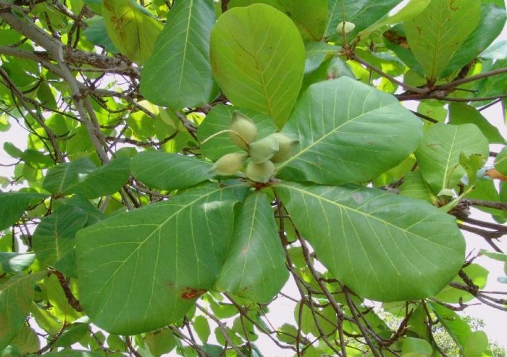 بذور شجرة ترمناليا كتابا  لوز بحريني  هليلج هندي - Terminalia Catapp
