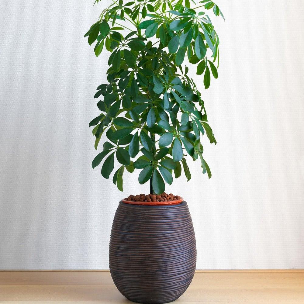 بذور شجرة شيفليرا اكتينوفيلا  شجرة المظلة  Schefflera Actinophylla