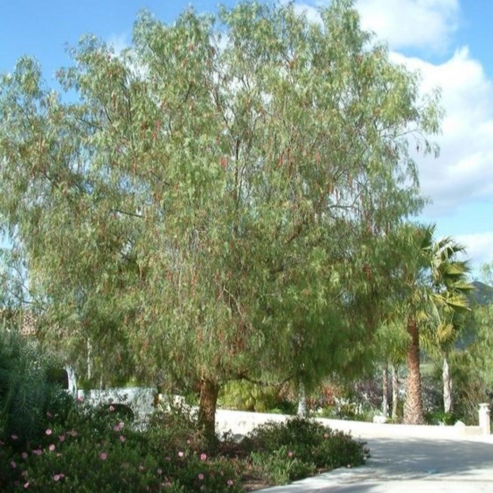 شجرة الفلفل البيروفي نحيل الأوراق - Schinus molle