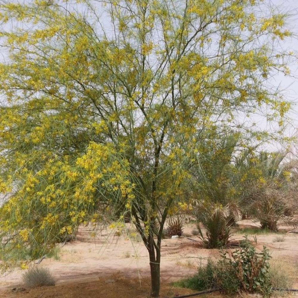 شجرة باركنسونيا  شوكة الفرس - Parkinsonia Aculeata