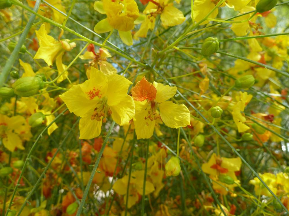زهرة شجرة باركنسونيا  شوكة الفرس - Parkinsonia Aculeata