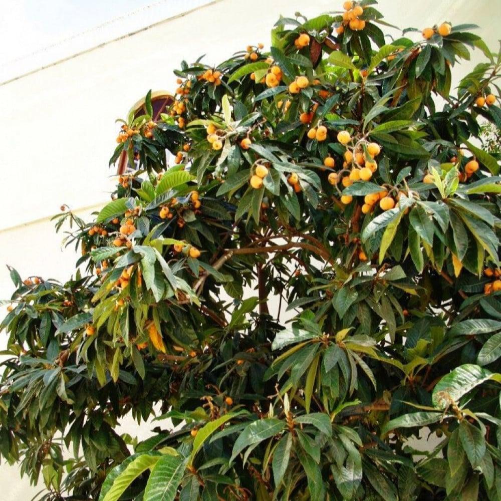 شجرة فاكهة البشملة   اسكدنيا  Eriobotrya