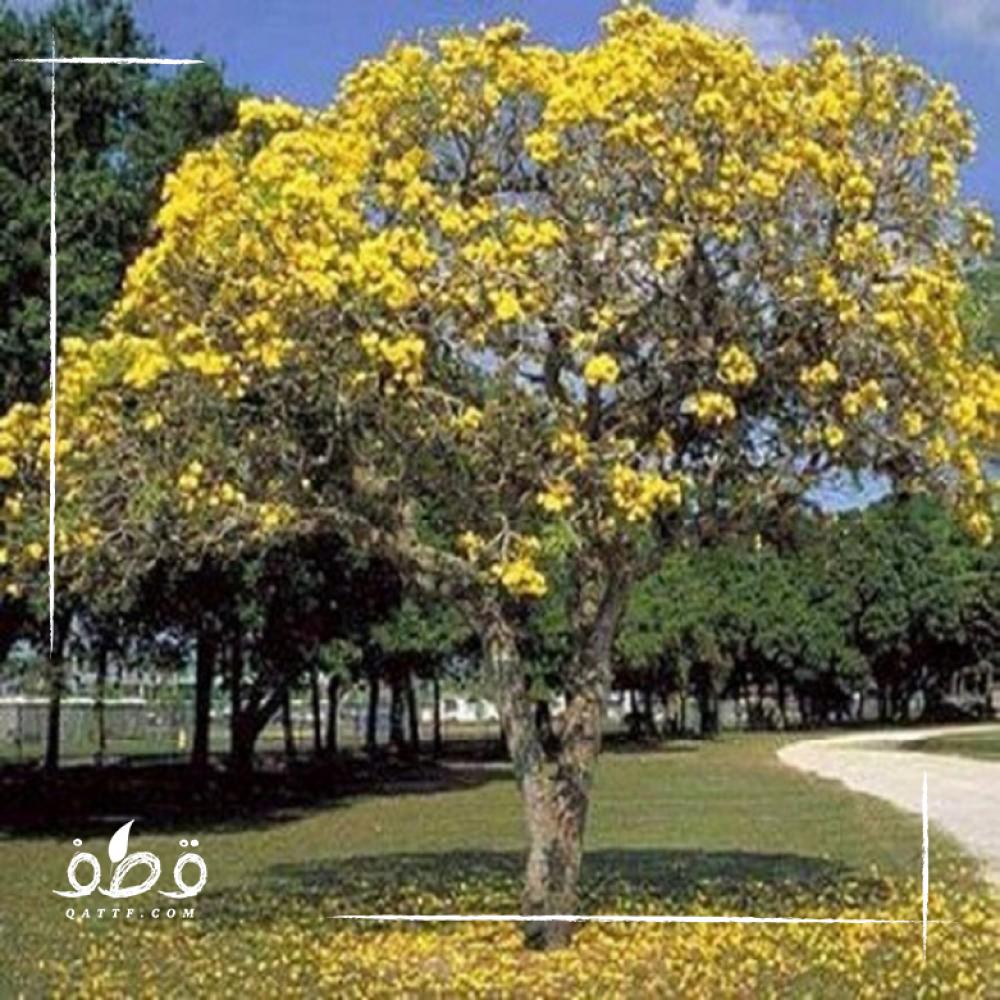 شجرة جاكرندا صفراء - ابو المكارم -  Tipuana Tipu