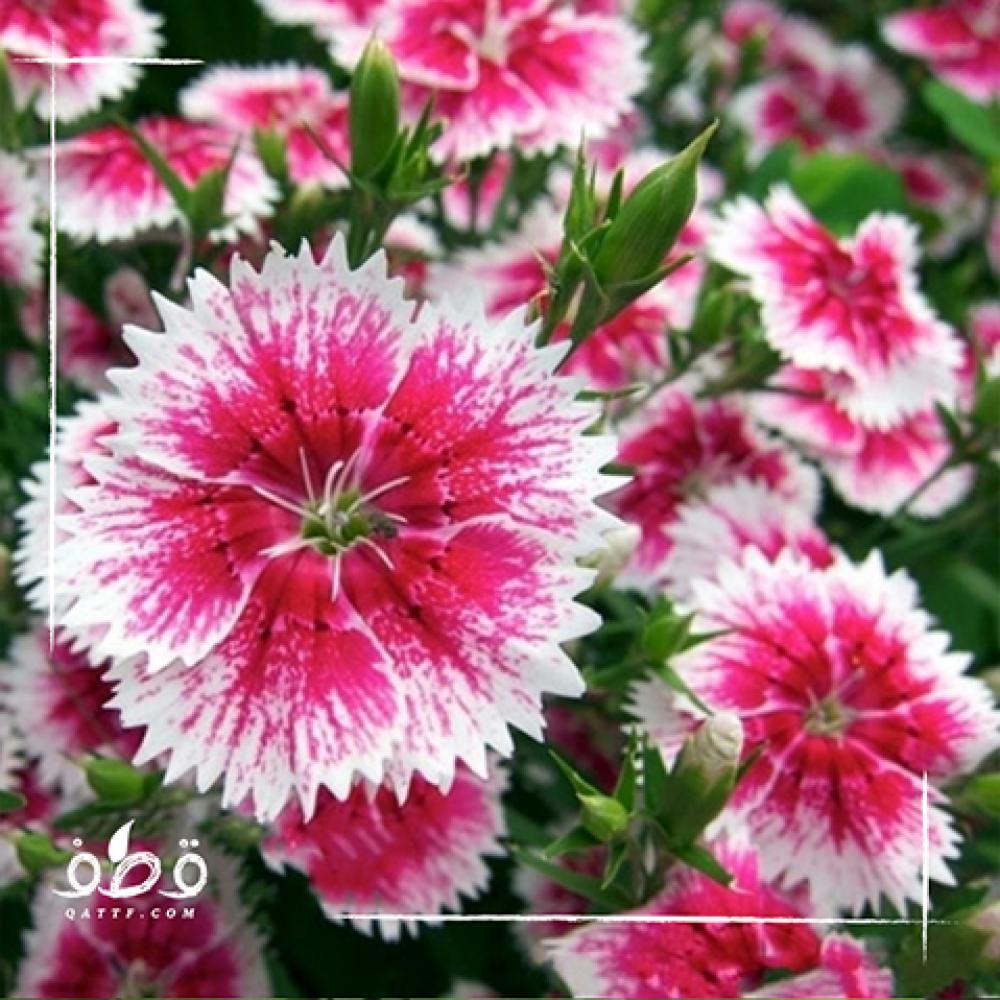 القرنفل الصيني - ديانتس -Dianthus
