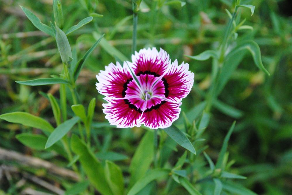 بذور القرنفل الصيني - ديانتس -Dianthus