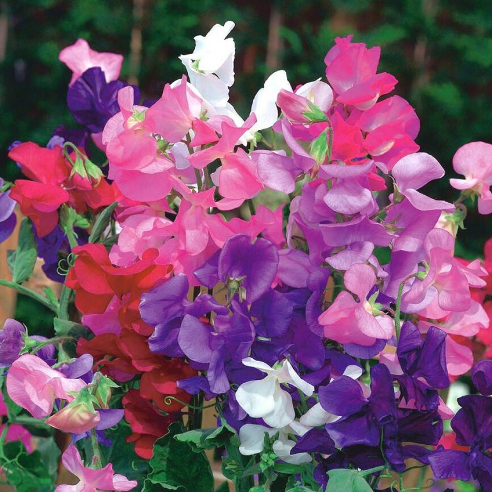 بذور زهرة بسلة الزهور - Lathyrus Odoratus