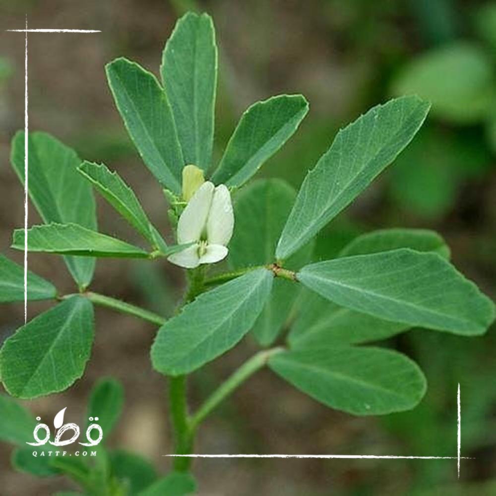 بذور الحلبة - Trigonella foenum-graecum