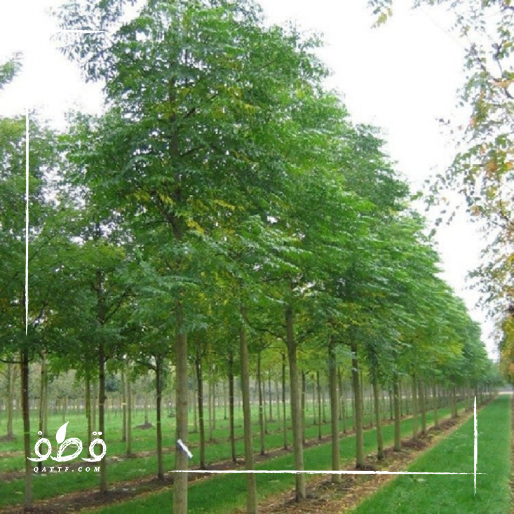 شجرة الزنزلخت - Melia azedarach