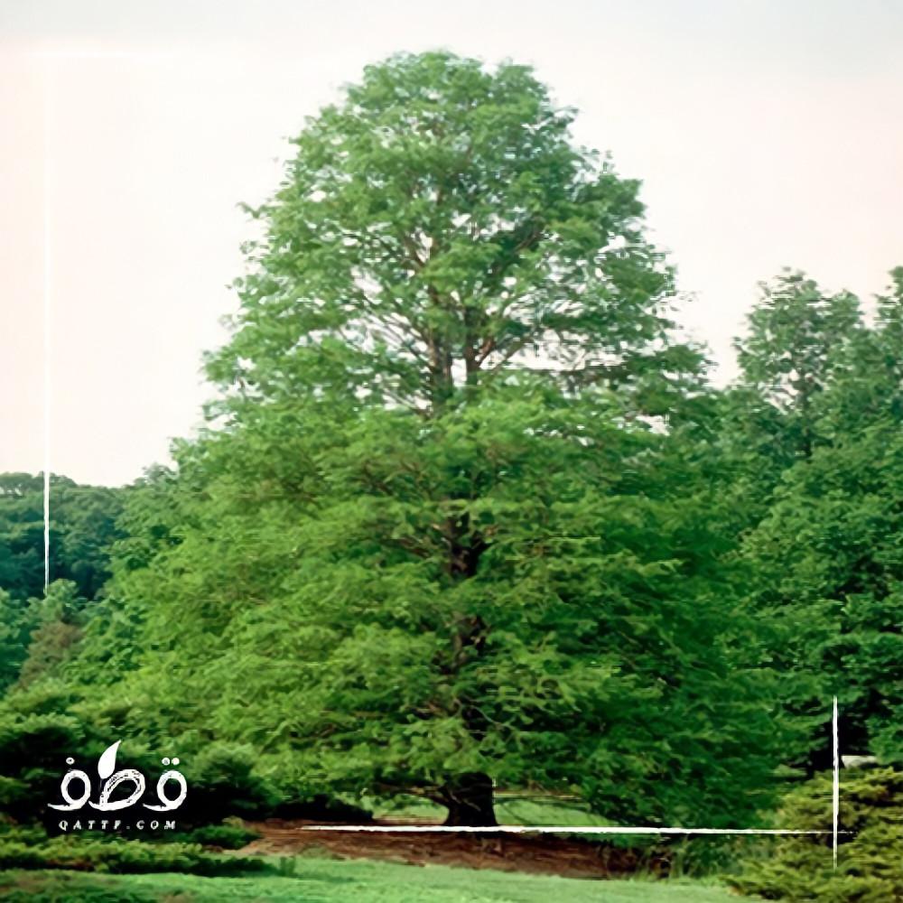 شجرة  تاكسوديوم