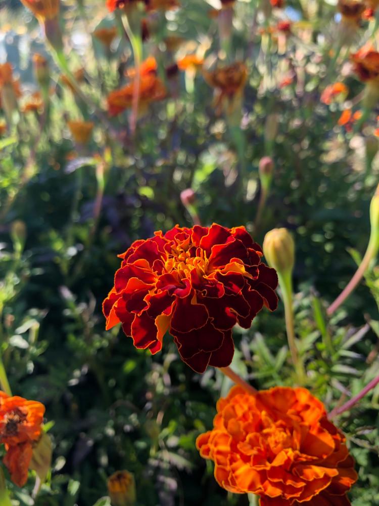 زهرة المخملية الحمراء - Tagetes patula