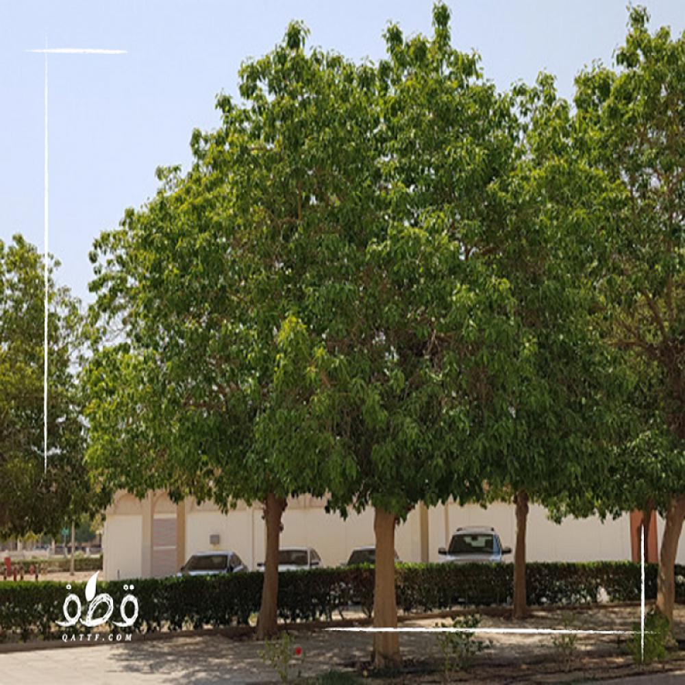 بذور فايكس التسيما Ficus altissima