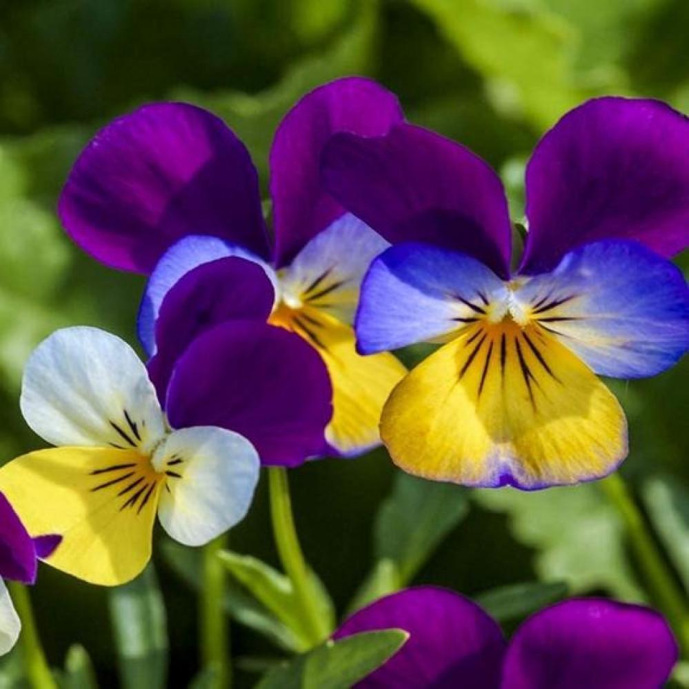 بذور زهرة بنفسج الثالوث - بألوان وأشكل مختلفة - MIX Viola tricolore
