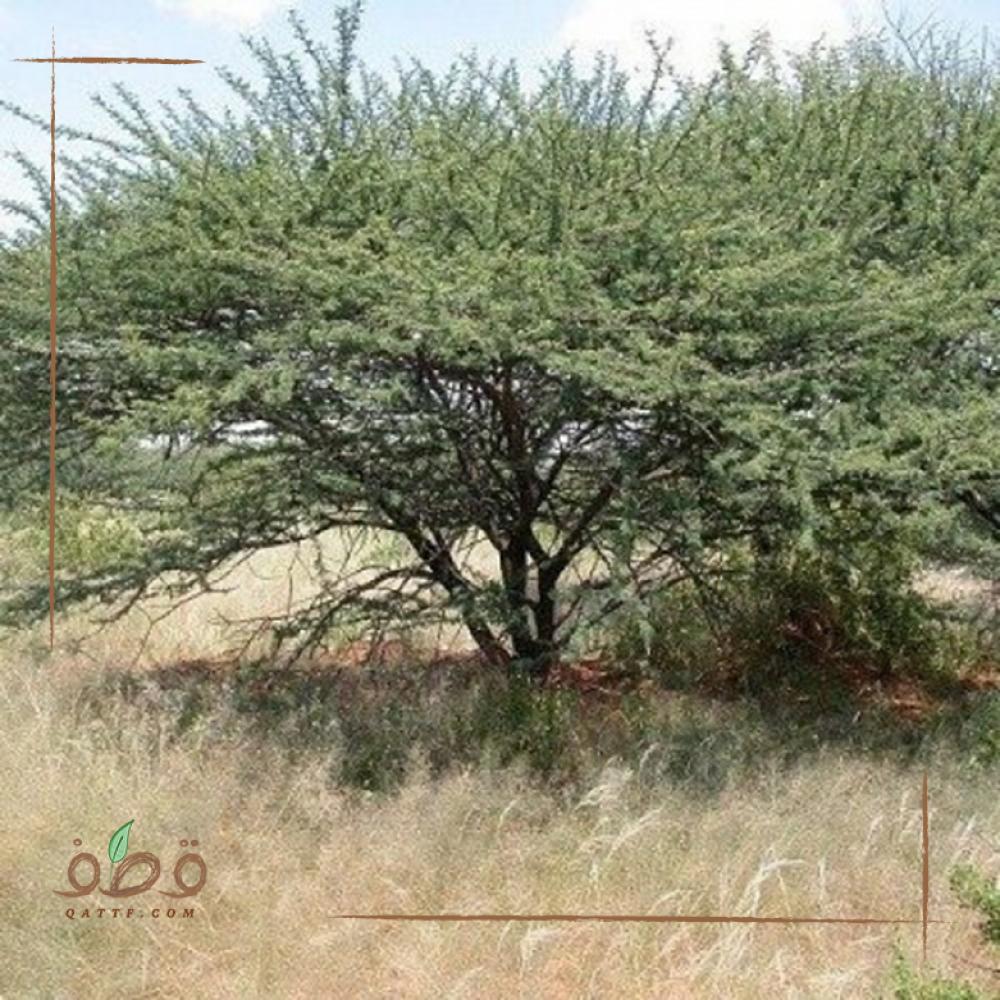 بذور  طلح أو سنط أو قرض  كتر  acacia mellifera