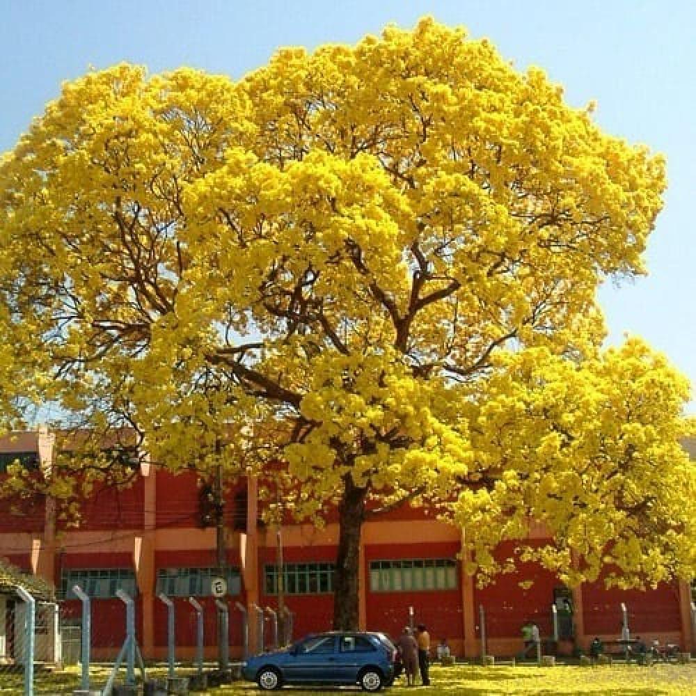 شجرة  تابوبيا الذهبية - Tabebuia Aurea