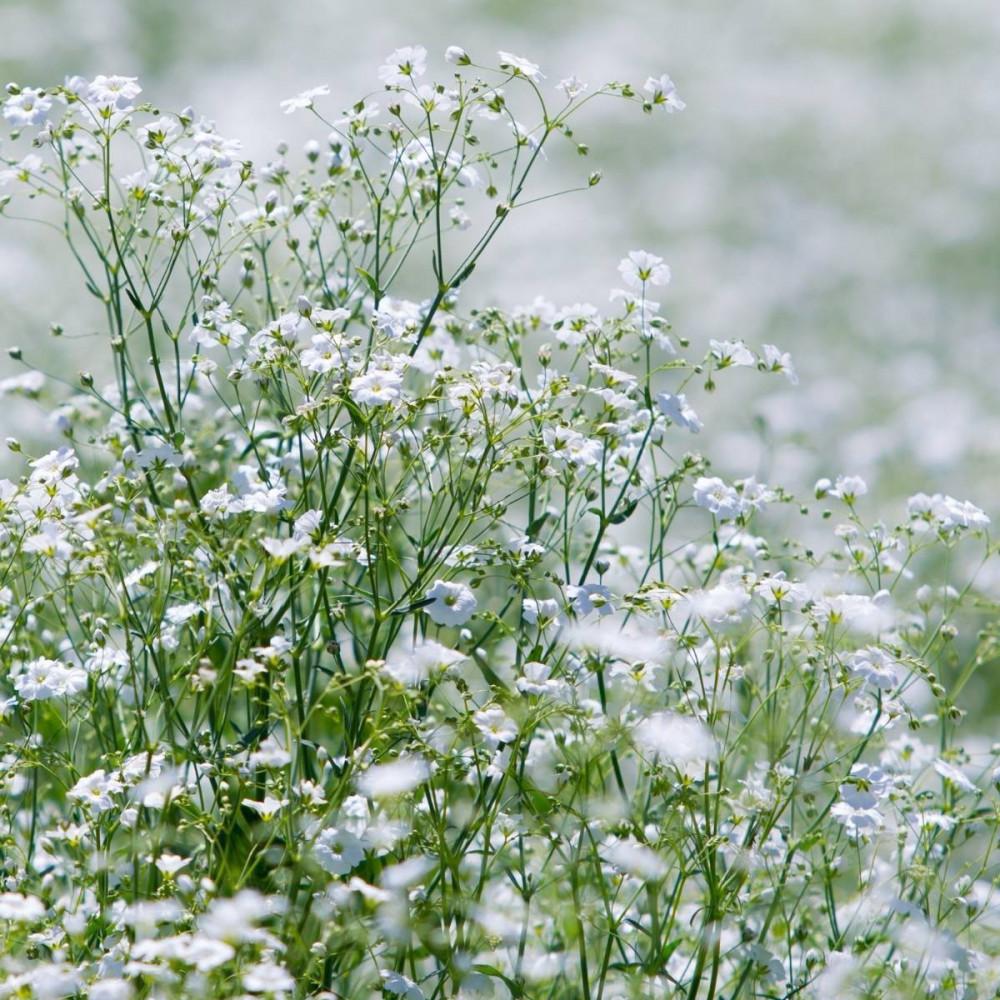 بذور زهرة جيبسوفيلا - Gypsophila