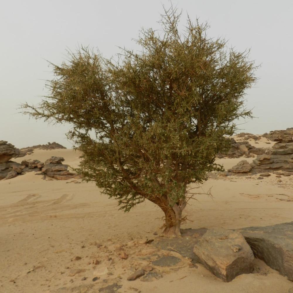 شجرة السرح - Maerua Crassifolia