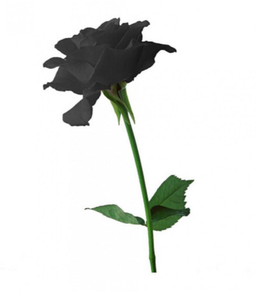 الجوري الاسود  Rosa  Damascena
