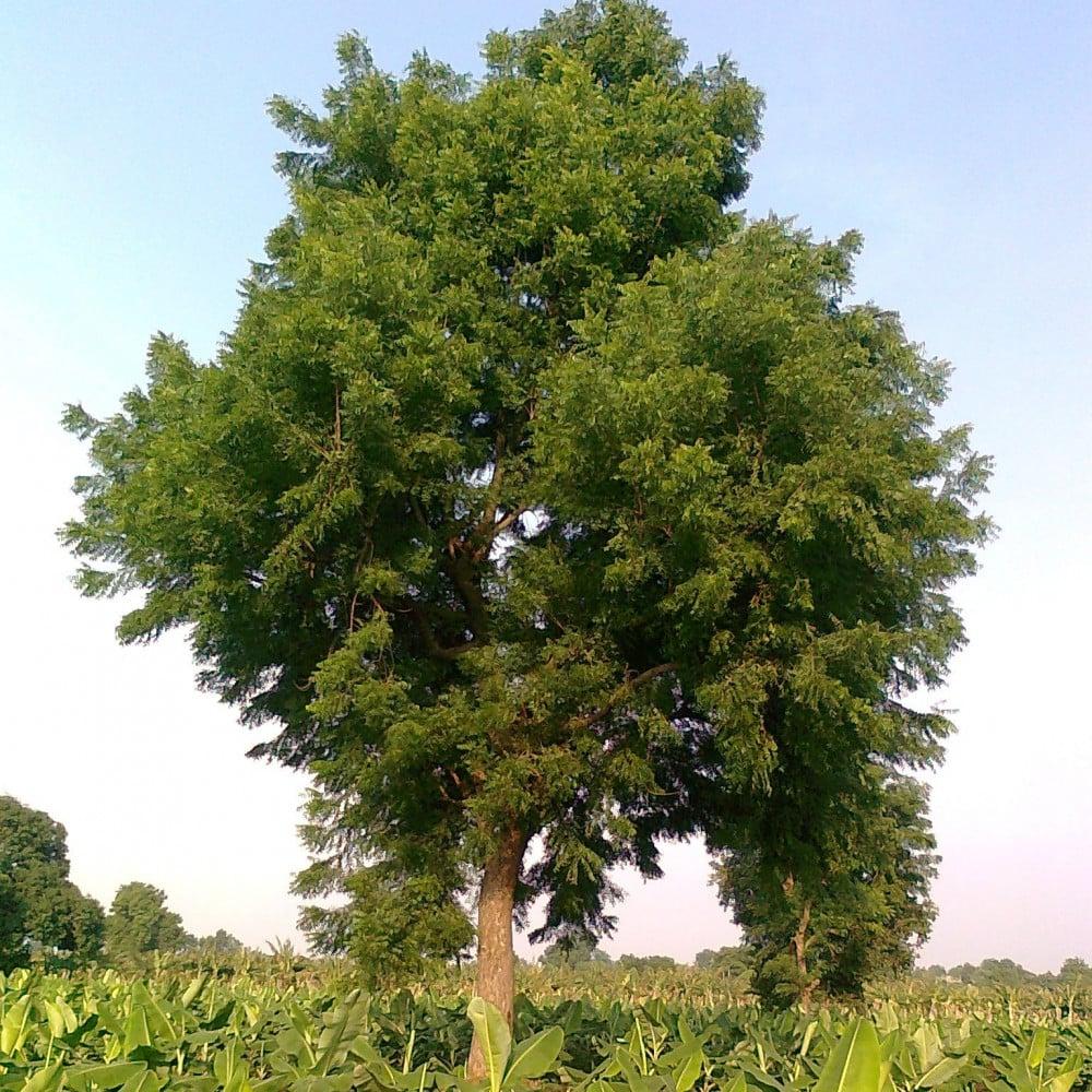 بذور النيم -Azadirachta indica
