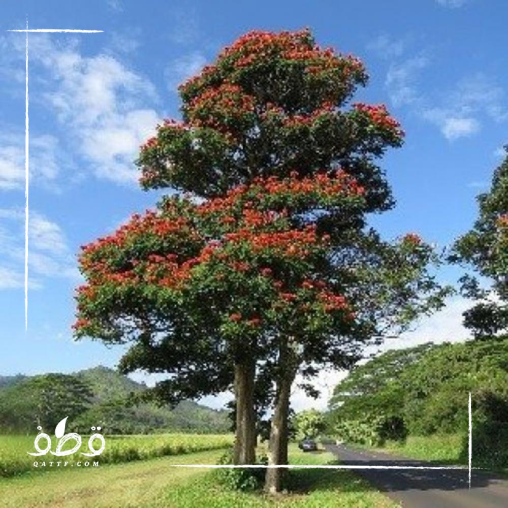 شجرة الخزامى التوليب الأفريقي  - Spathodea campanulata