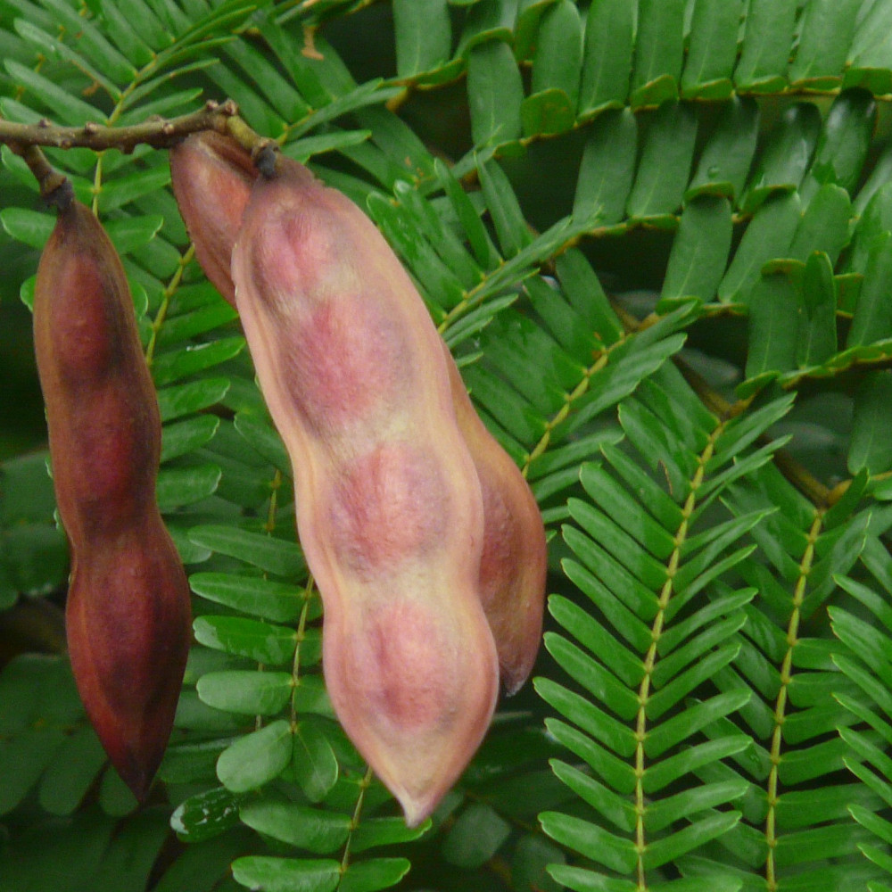 بذور بونسيانا صفراء - بلتفورم - Peltophorum pterocarpum