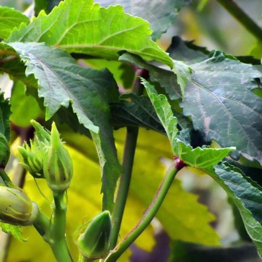 بذور الباميه الحساوية - Abelmoschus Esculentus