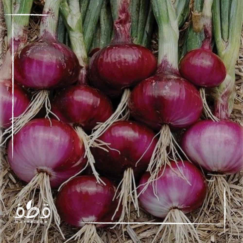 بذور بصل احمر - Allium cepa
