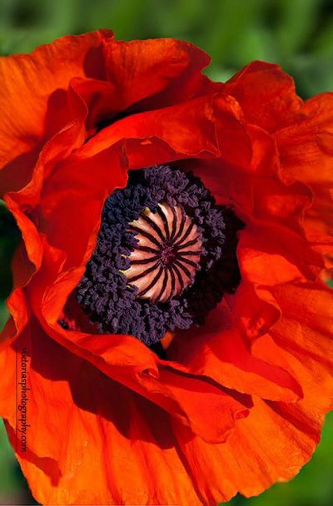 الديدحان  البرتقالي  - Papaver Orientale