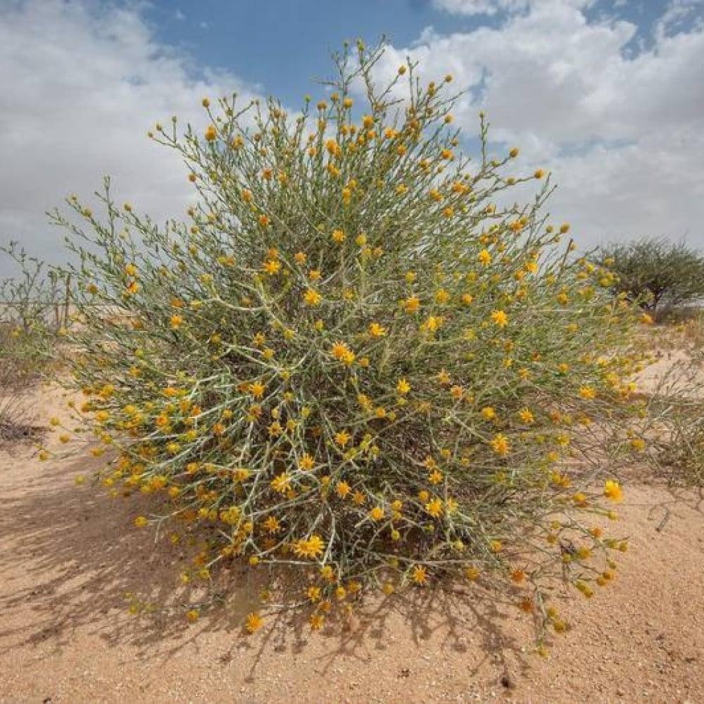 بذور شجرة العرفج Rhanterium epapposum