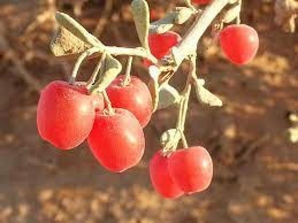 بذور شجرة الضبر  فاكهة المصع  Dobera Glabra