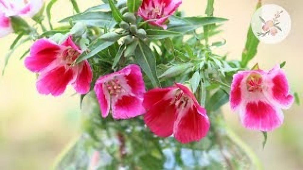 زهرة وداع الربيع  جوديشيا - Clarkia Amoena