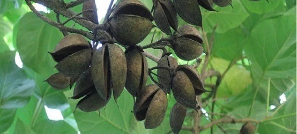 بذور شجرة الاميرة  الباولونيا - Paulownia