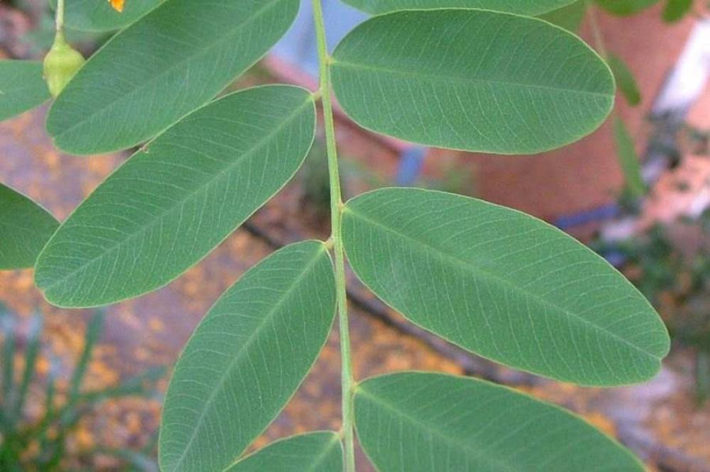 ورقه شجرة جاكرندا صفراء - ابو المكارم -  Tipuana Tipu