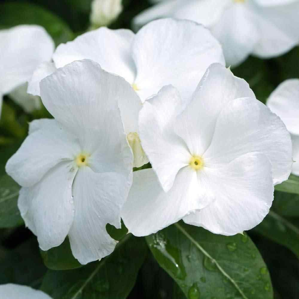 بذور البفتة البيضاء فينكا  - Vinca roses blanche