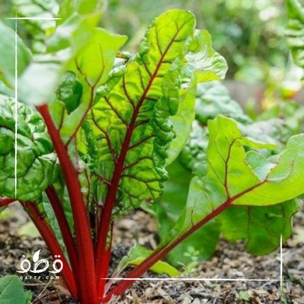 بذور السلق Beta vulgaris subsp  - cicla