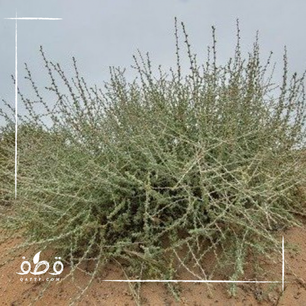 بذور عشبة الضمران البري  - Traganum Nudatum