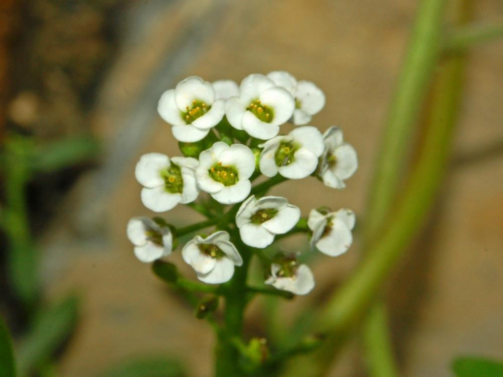 زهرة الملكة  اليسم  الاليسم  Lobularia Maritime
