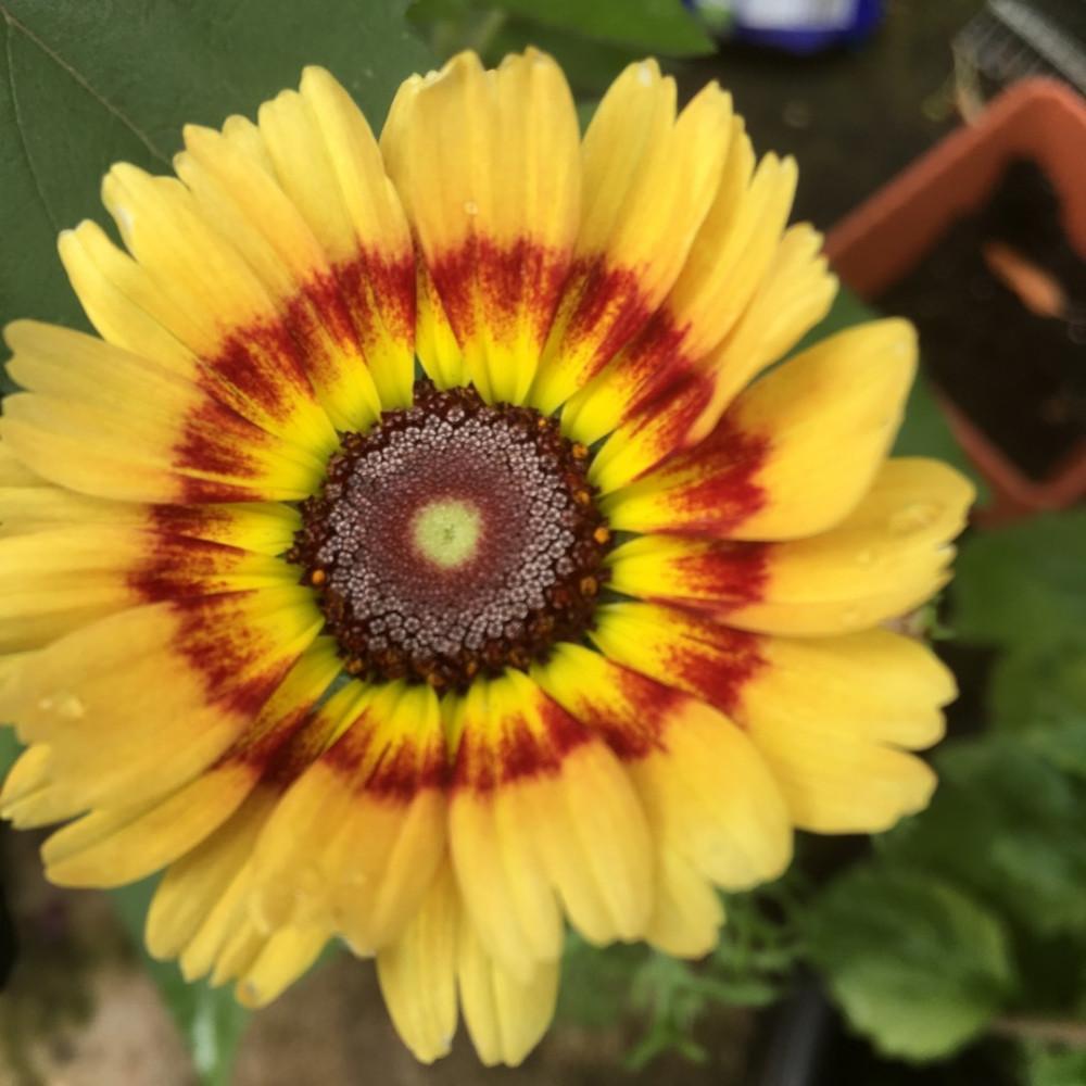 بذور الاقحوان اراولا  Chrysanthemum Coronarium