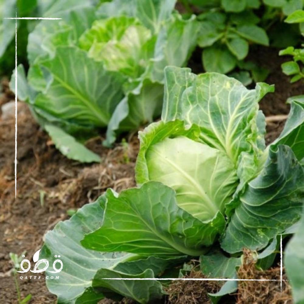 بذور الملفوف - Brassica oleracea var capitata