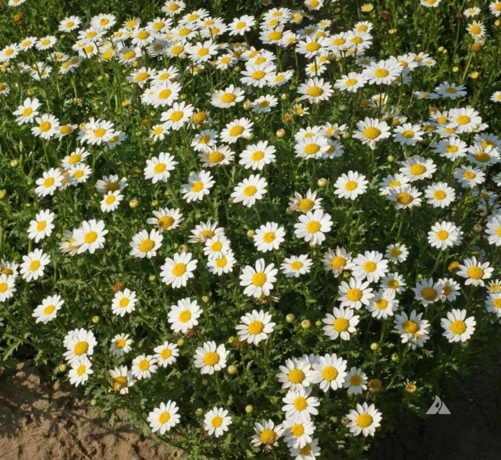 زهرة اقحوان المروج-  Chrysanthemum Paludosum