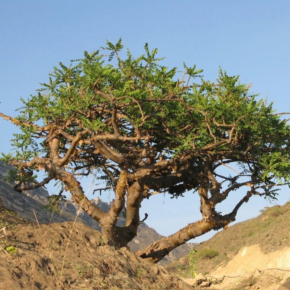 بذور  اللبان العماني - boswellia sacra