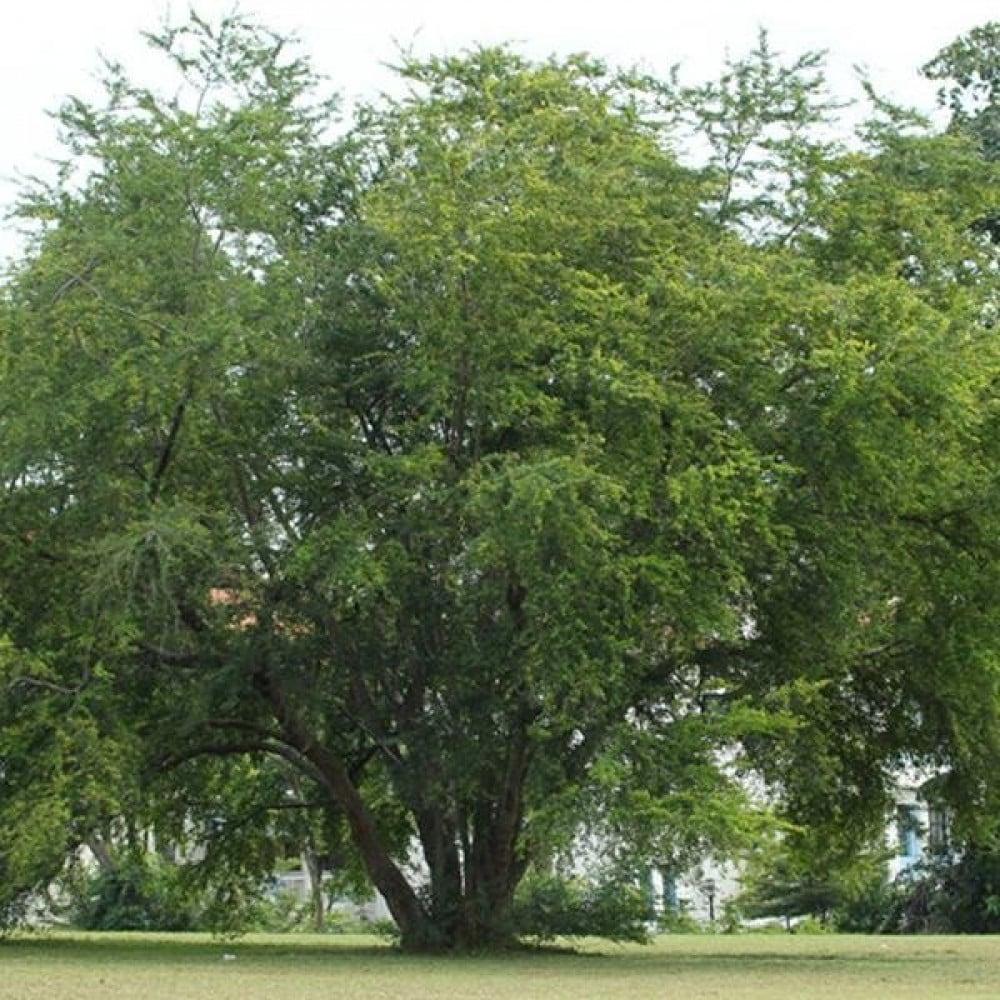 شجرة اللوز البلدي