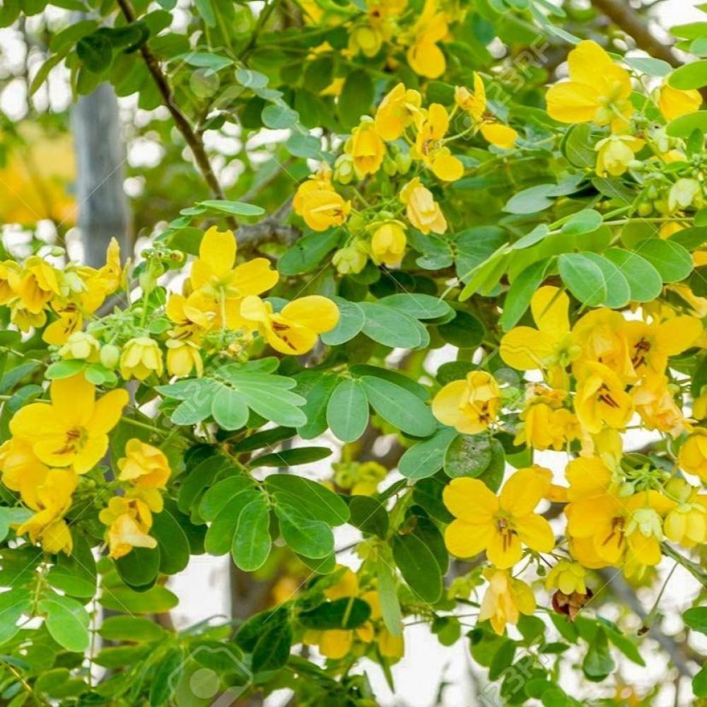 زهور كاسيا جلوكا