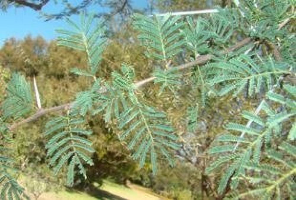 شجرة السمر