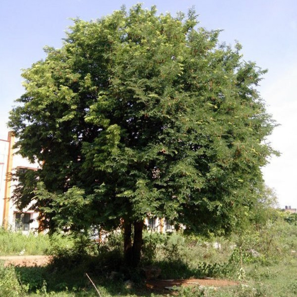 بذور شجرة التمر الهندي